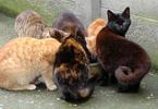 Zwerfkatten eten samen aan één kom.
